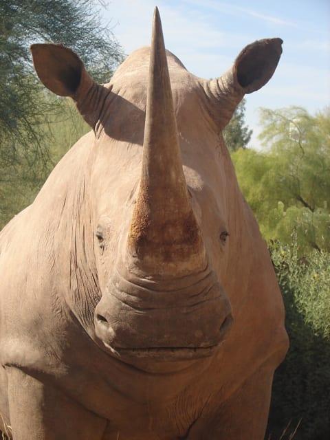 craigs-rhino