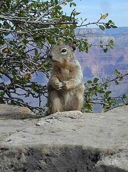 gc-squirril